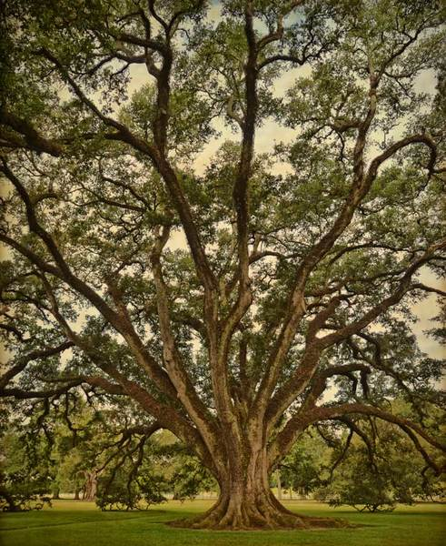 Josephine Oak, Oak Alley Plantation, vertical view