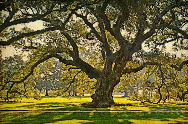 Andrew Oak, morning light, Oak Alley Plantation, Vacherie, LA