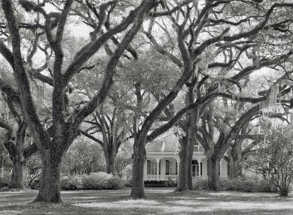 The Oaks Plantation, view of house through oaks