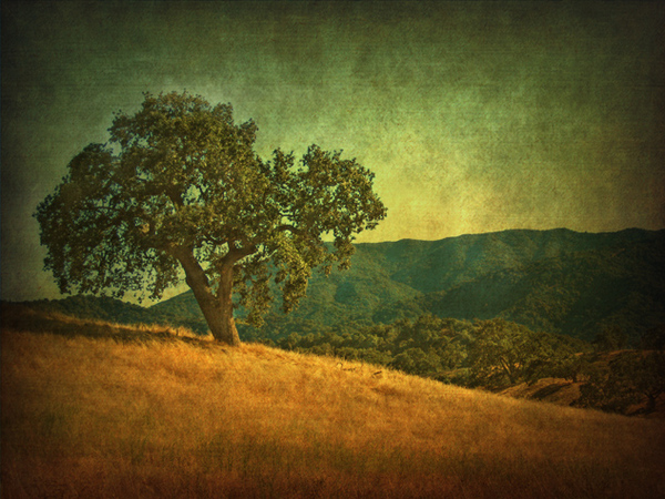 Oak on hill, afternoon light, Santa Lucia Preserve, CA