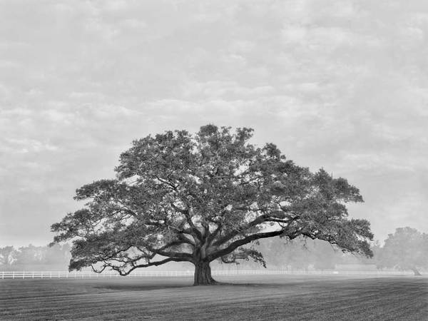 Oak in west field, Oak Alley Plantation