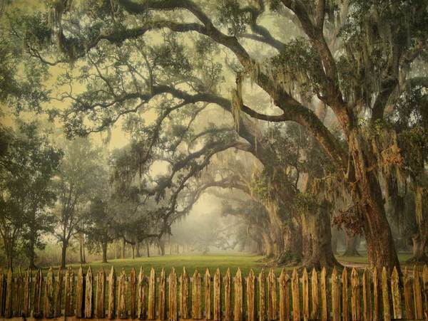 Fence and oaks, Evergreen Plantation study 2