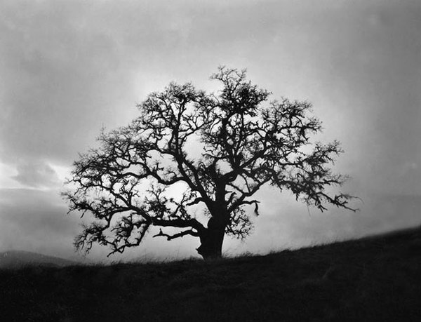 Beacon oak, sunset, Santa Lucia Preserve