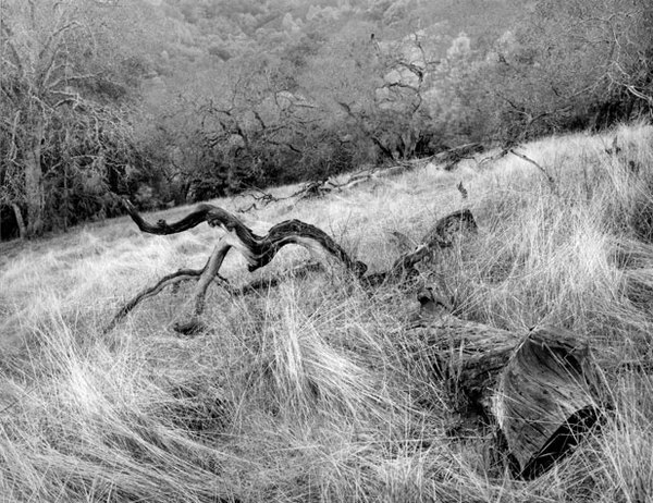 Fallen oaks, winter grass, Coe Park, CA