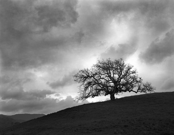 Oak, approaching storm, Preserve