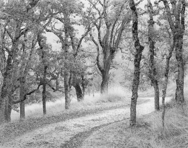 Road-lined with young oaks, Long Ridge