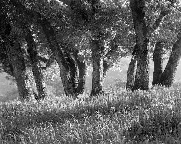 Oaks, afternoon, Chamisal Pass